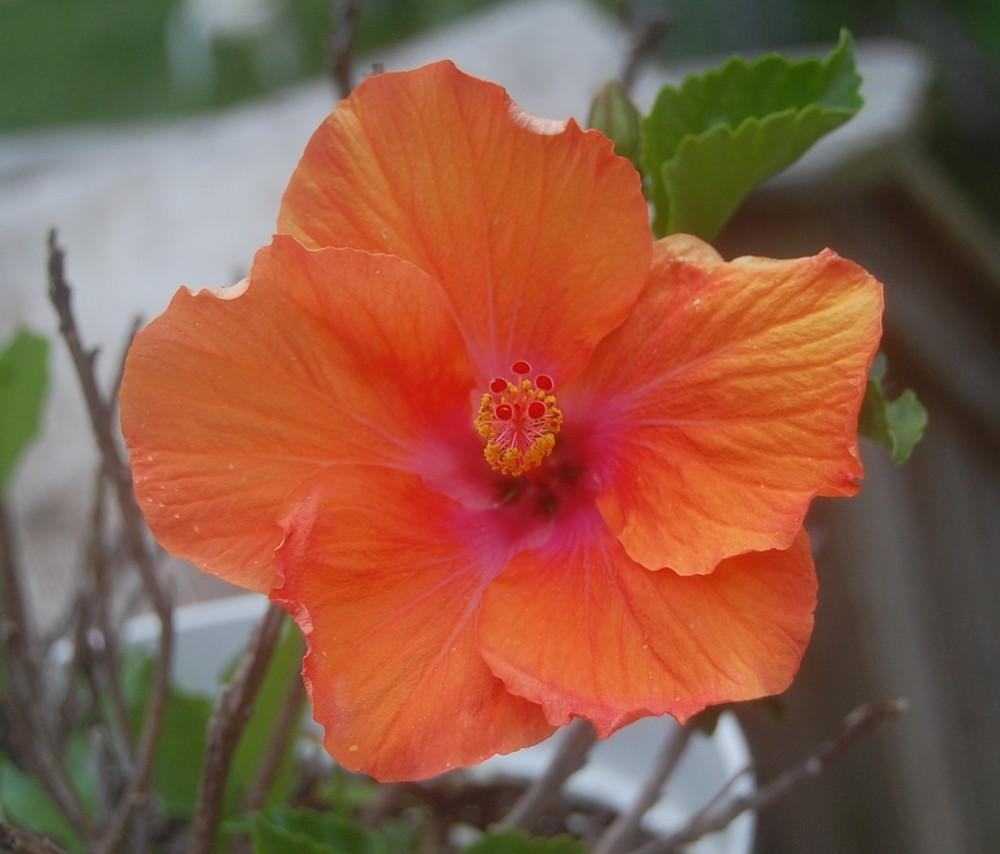 Photo of Hibiscus uploaded by pixie62560