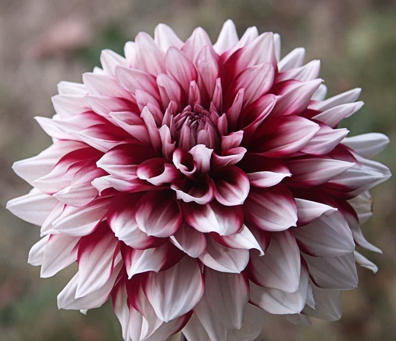 Photo of Dahlia 'Gaudy' uploaded by robertduval14