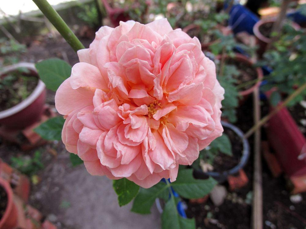 Photo of Rose (Rosa 'Abraham Darby') uploaded by salenlamne