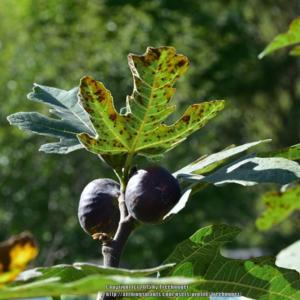 fig tree dating a dating site for 11 year olds