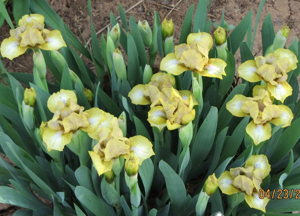 Photo of Standard Dwarf Bearded Iris (Iris 'Tender Tears') uploaded by Bloombuddie