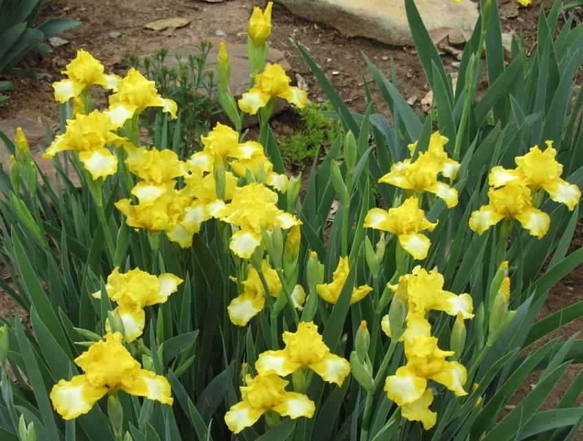 Photo of Intermediate Bearded Iris (Iris 'Bottled Sunshine') uploaded by Bloombuddie