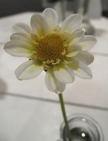 Photo of Dahlia 'Miss Muffit' uploaded by robertduval14