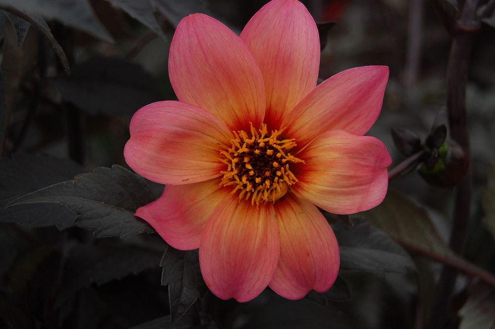 Photo of Dahlia Mystic Fantasy uploaded by robertduval14