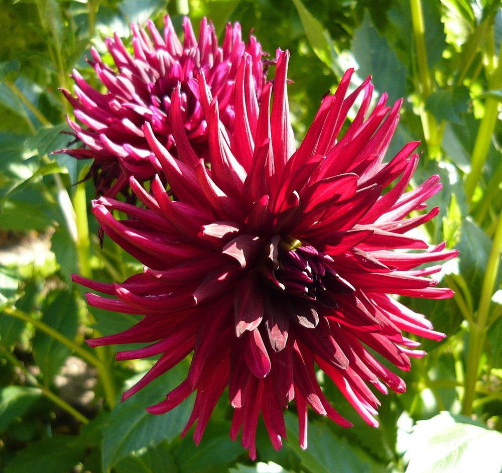 Photo of Cactus Dahlia (Dahlia 'Nuit d'Ete') uploaded by robertduval14