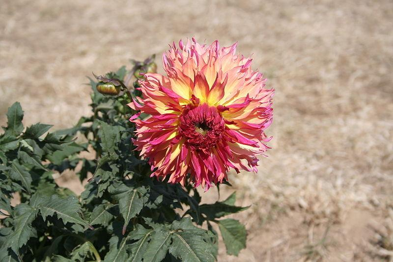 Photo of Dahlia 'Myrtle's Folly' uploaded by robertduval14
