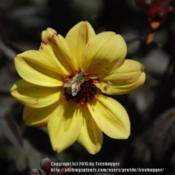 Date: 2010-09-05This Dahlia with dark foliage and yellow petals listed