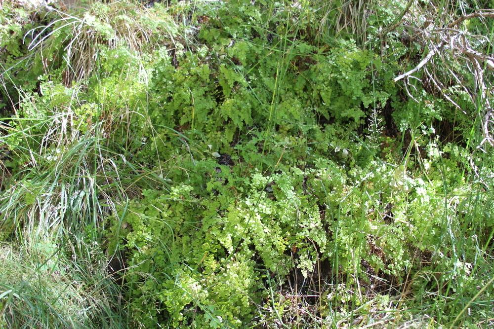 Photo of Southern Maidenhair Fern (Adiantum capillus-veneris) uploaded by dave