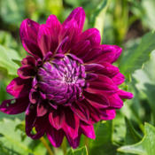 Location: Clinton, Michigan 49236Date: 2015-09-30Dahlia 'Nadine Jessie', 2015
