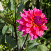 Location: Clinton, Michigan 49236Date: 2015-09-30Dahlia 'Sonic Bloom', 2015