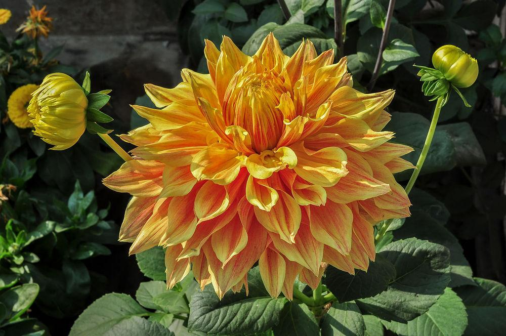 Photo of Dahlia 'Sam Huston' uploaded by robertduval14