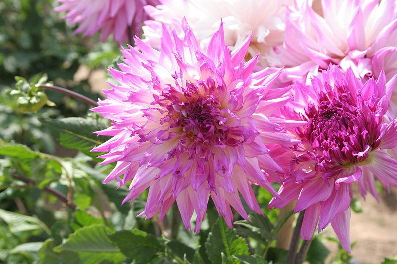 Photo of Dahlia 'Alauna Atalante' uploaded by robertduval14
