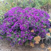 "Location: Hamilton Square Perennial Garden, Historic City Cemetery, Sacramento CA.Date: 2015-09-30Zone 9b. Well behaved slow growing clump. Great ""Purple Dome"" of"