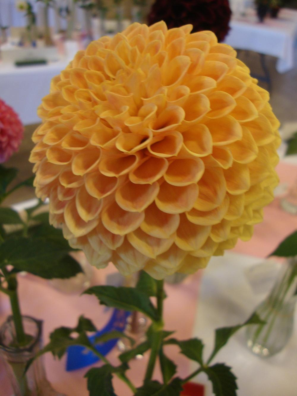 Photo of Dahlias (Dahlia) uploaded by Paul2032
