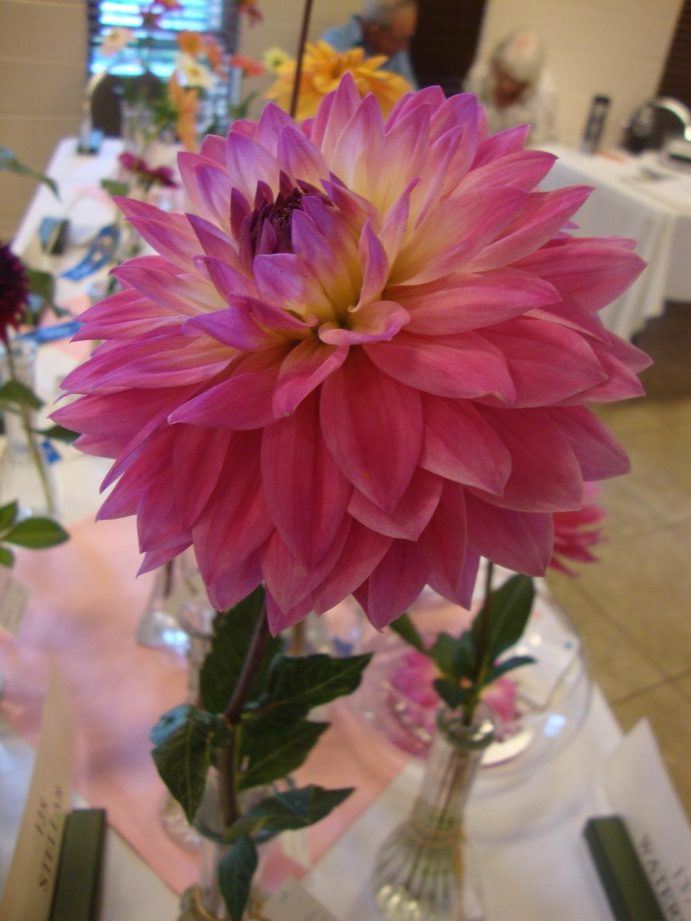 Photo of Waterlily Dahlia (Dahlia 'Miss Delilah') uploaded by Paul2032