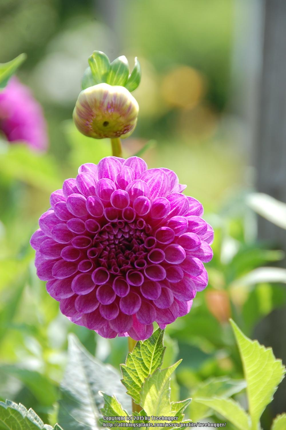 Photo of Formal Decorative Dahlia (Dahlia 'Ted's Choice') uploaded by treehugger