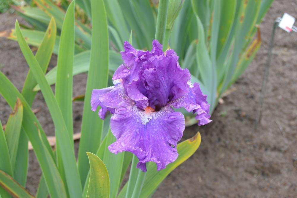 Photo of Tall Bearded Iris (Iris 'What's New') uploaded by KentPfeiffer