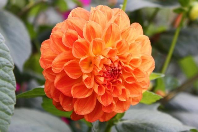 Photo of Informal Decorative Dahlia (Dahlia 'Orange Nugget') uploaded by RuuddeBlock