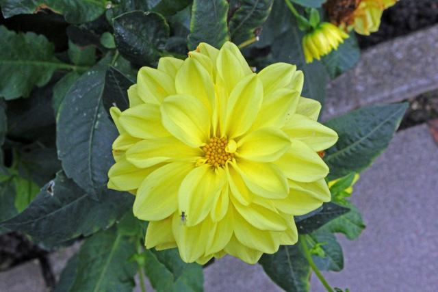 Photo of Dahlias (Dahlia) uploaded by RuuddeBlock