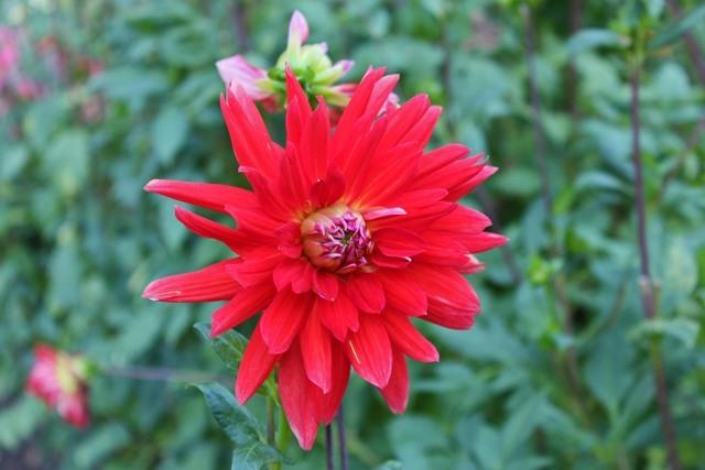 Photo of Dahlia 'Red Royal Diana' uploaded by RuuddeBlock