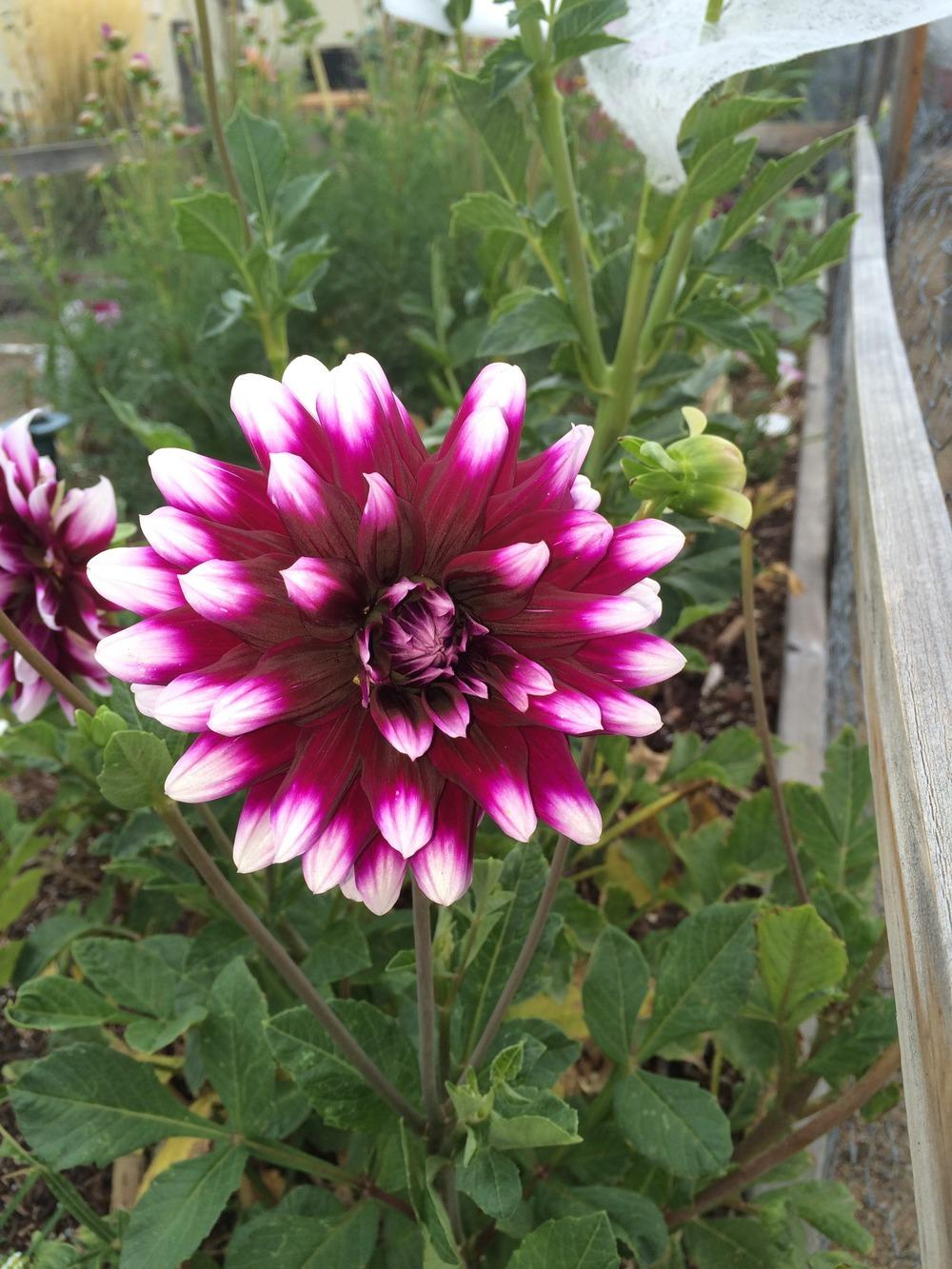 Photo of Dahlias (Dahlia) uploaded by djinnevada