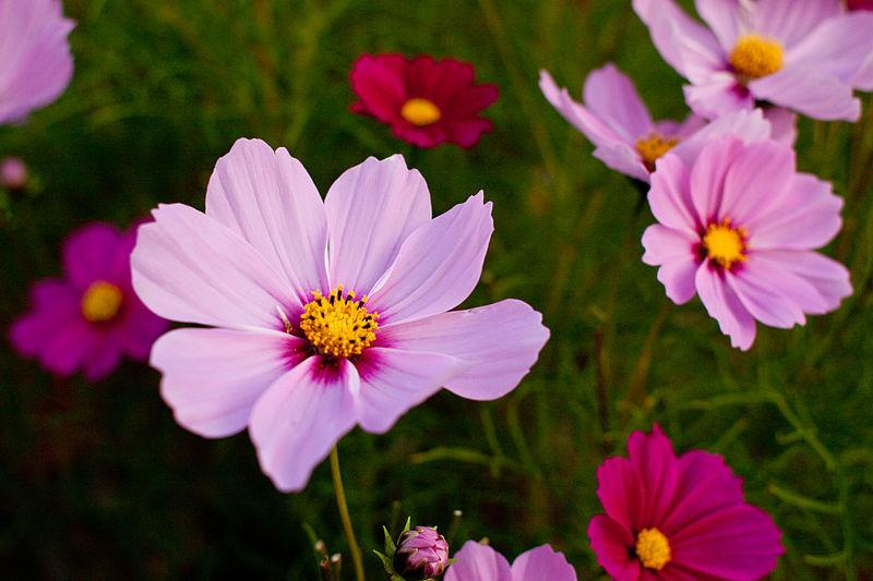 Photo of Common Cosmos (Cosmos bipinnatus 'Radiance') uploaded by robertduval14