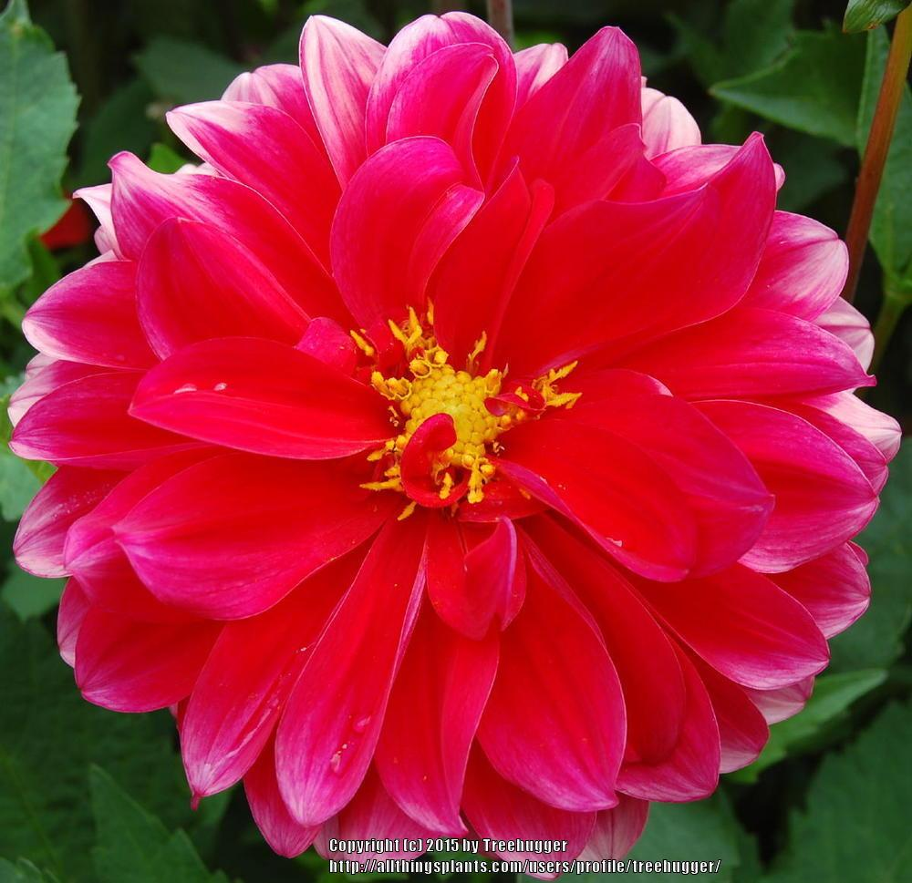 Photo of Dahlias (Dahlia) uploaded by treehugger