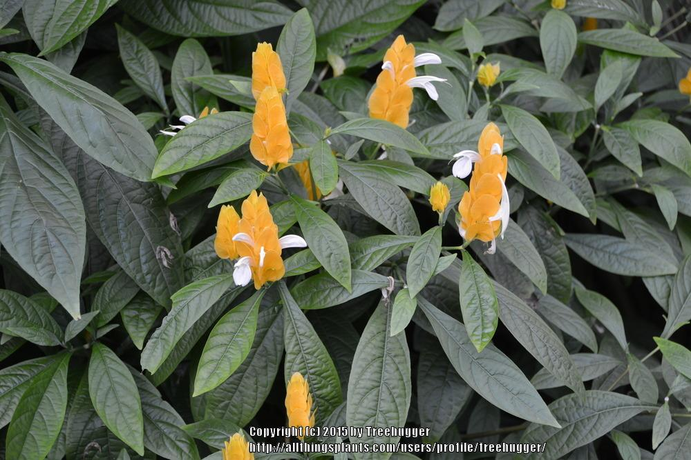 Photo of Golden Shrimp Plant (Pachystachys lutea) uploaded by treehugger