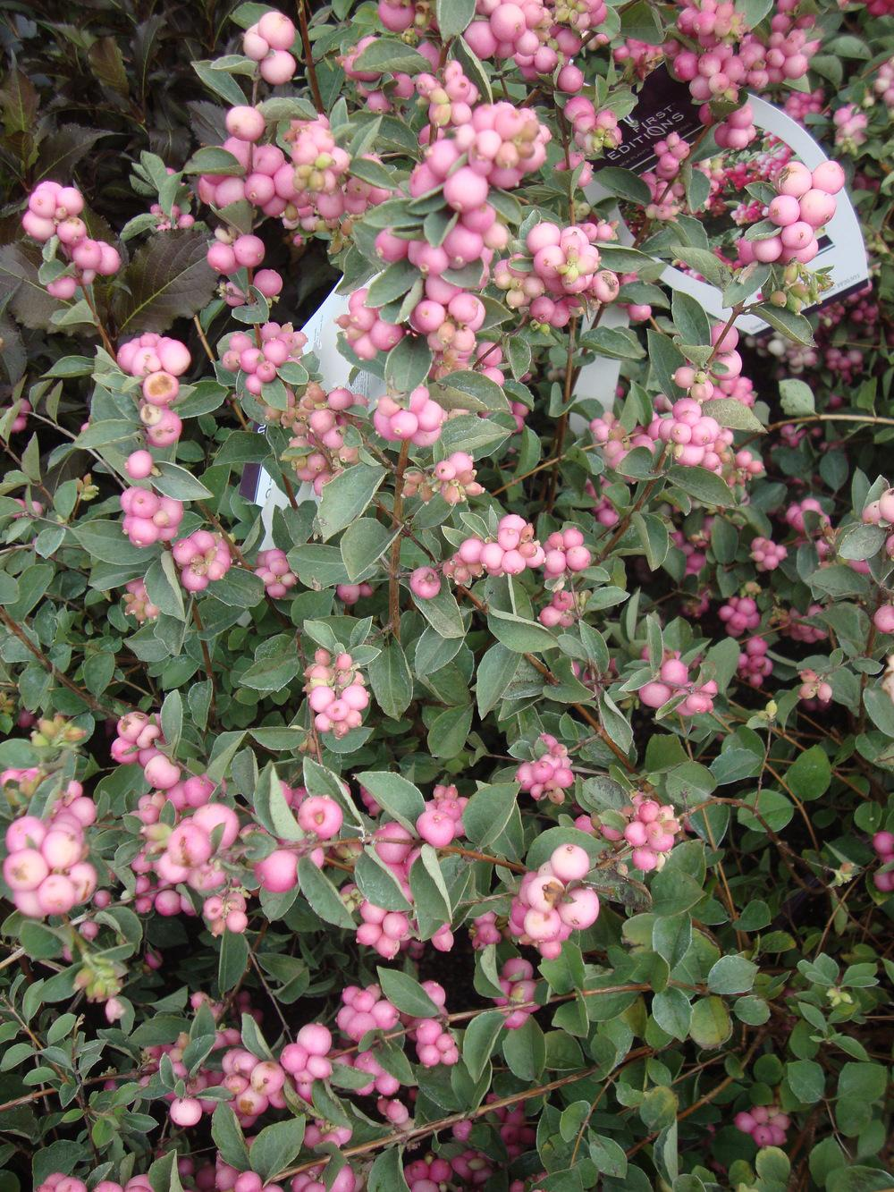 Photo of Coralberry (Symphoricarpos First Editions® Sweet) uploaded by Paul2032