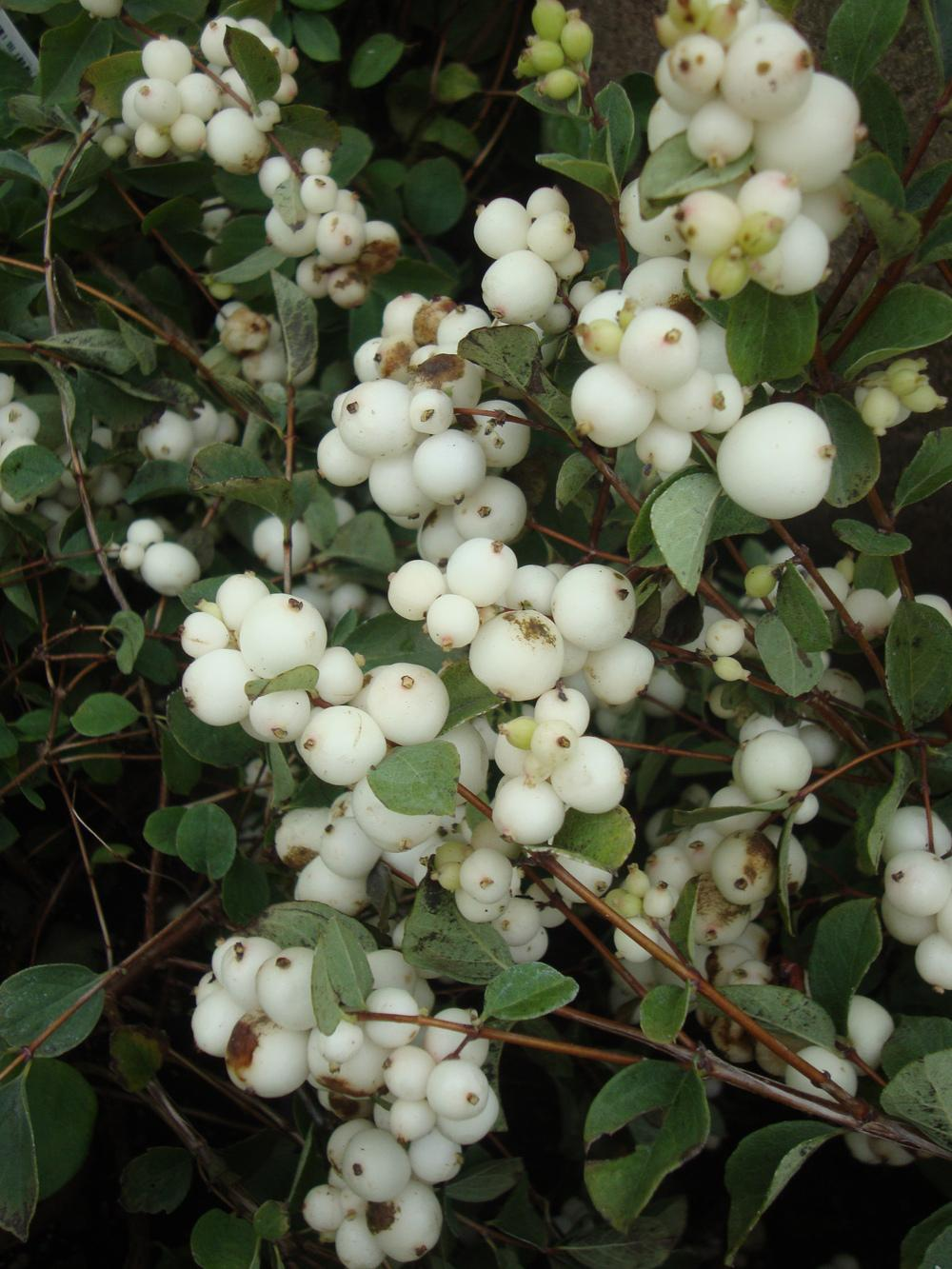 Photo of Snowberry (Symphoricarpos albus) uploaded by Paul2032