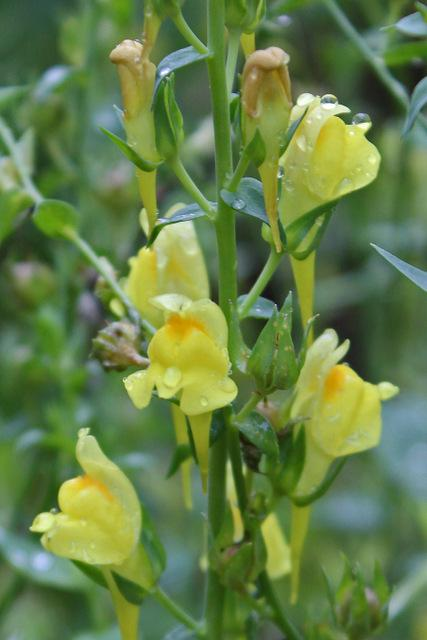 Photo of Dalmatian Toadflax (Linaria dalmatica) uploaded by RuuddeBlock