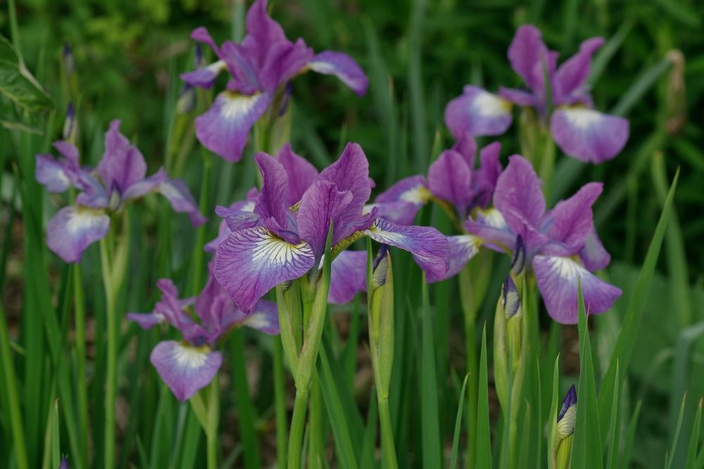 Photo of Siberian Iris (Iris 'Sparkling Rose') uploaded by dirtdorphins