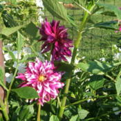 Location: The Park - full sun gardenDate: 2015-09-01The darker one, in the background, just opened. The lighter one i