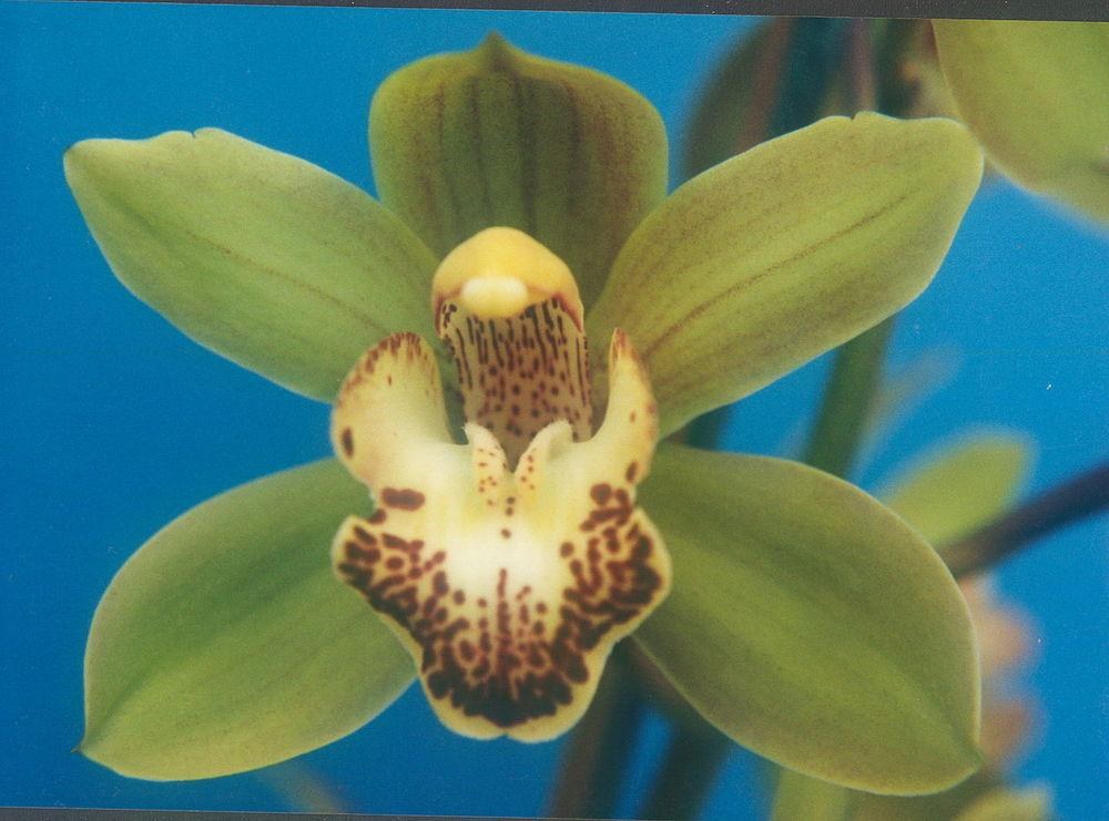 Photo of Orchid (Cymbidium Peter Pan) uploaded by robertduval14