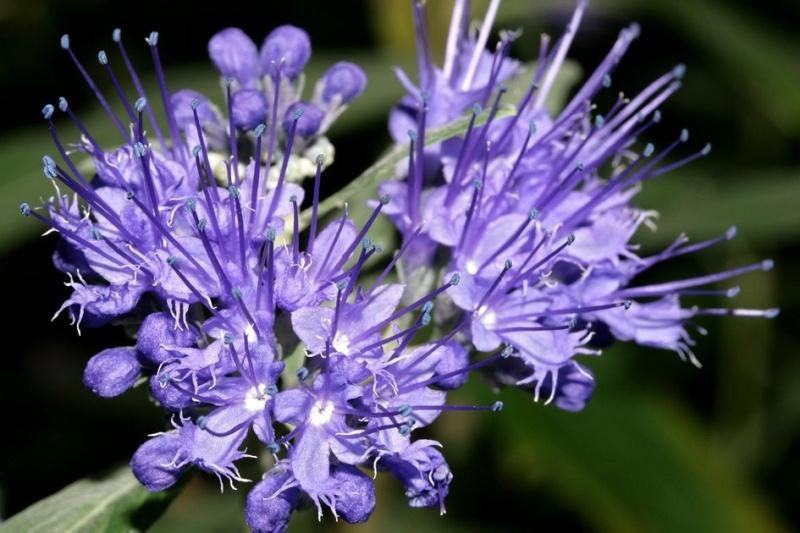 Photo of Bluebeard (Caryopteris x clandonensis) uploaded by robertduval14