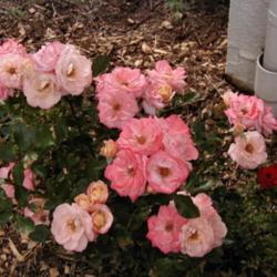Thumb of 2015-10-05/RoseBlush1/68f1dc