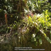 Location: Atlantic Forest, Paraty, SE BrazilDate: 2015-01-12In company of Aechmea distichantha.