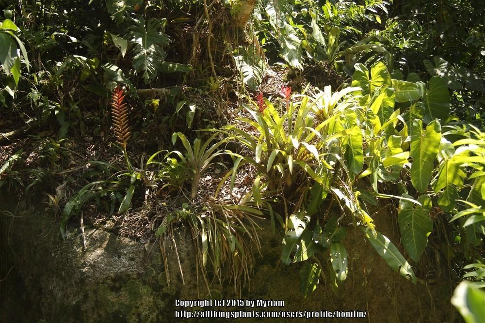 Photo of Bromeliad (Vriesea ensiformis) uploaded by bonitin