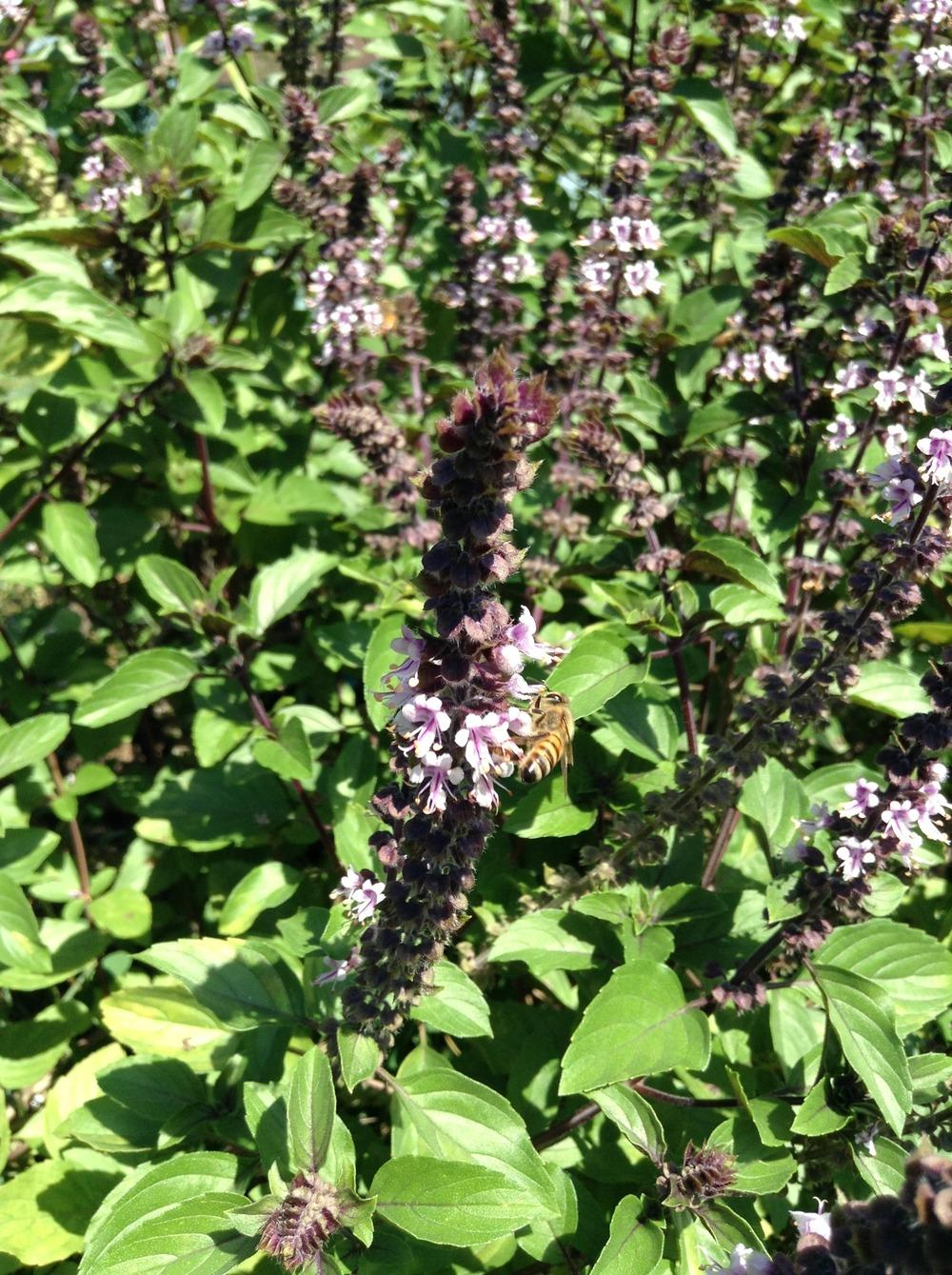 Photo of African Blue Basil (Ocimum 'African Blue') uploaded by csrain