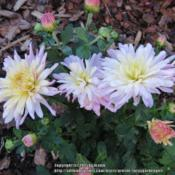 Location: West rock gardenDate: October 2015Lovely two toned flowers