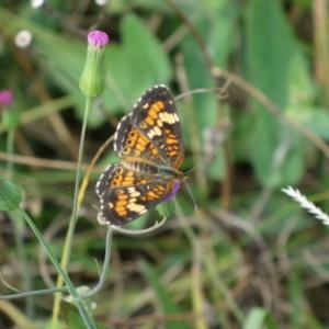 A favorite nectar plant of butterflies, including this Phaon Cres