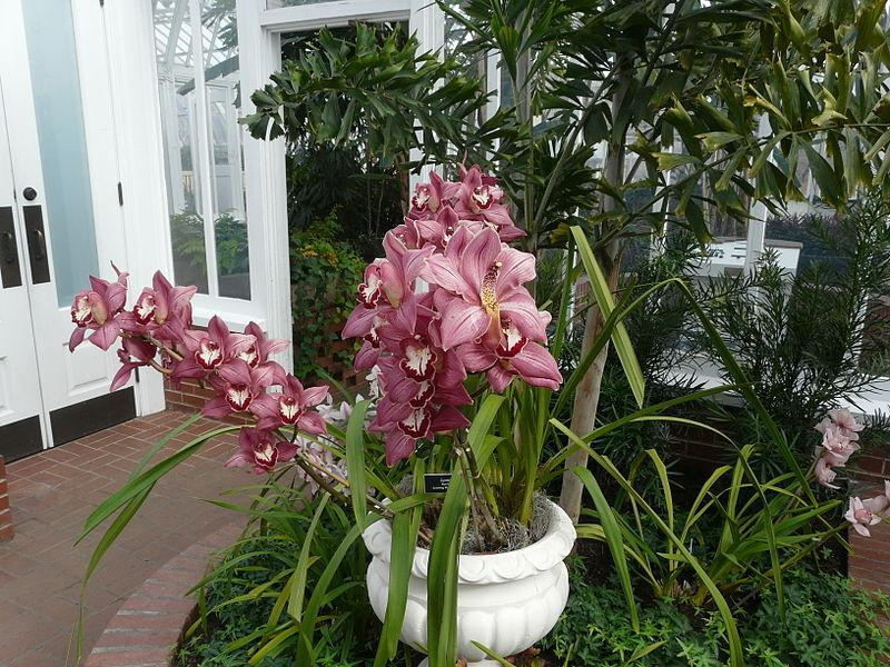 Photo of Orchid (Cymbidium Red Beauty 'Evening Star') uploaded by robertduval14