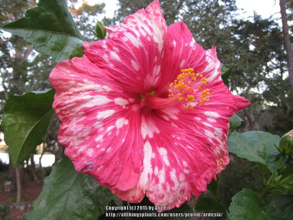 Photo of Tropical Hibiscus (Hibiscus rosa-sinensis 'Peppermint Star') uploaded by ardesia
