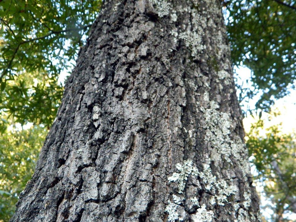 Photo of Willow Oak (Quercus phellos) uploaded by wildflowers