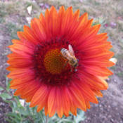Location: My garden, North Central IdahoDate: 6 Oct 2015Grown from seed. The color is amazing!