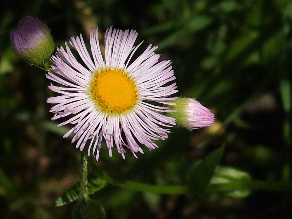 Photo of Fleabane (Erigeron) uploaded by darwellwoods