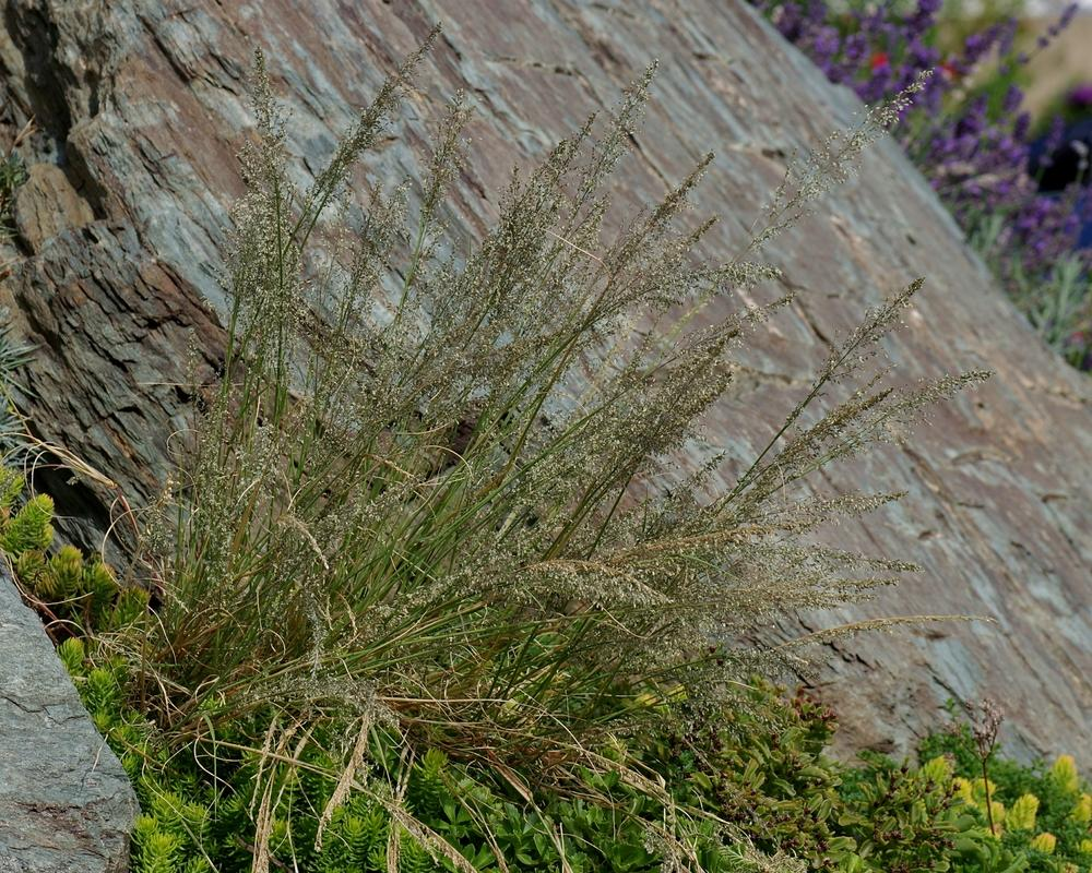 Photo of Mountain Mist Grass (Blepharoneuron tricholepis) uploaded by dirtdorphins