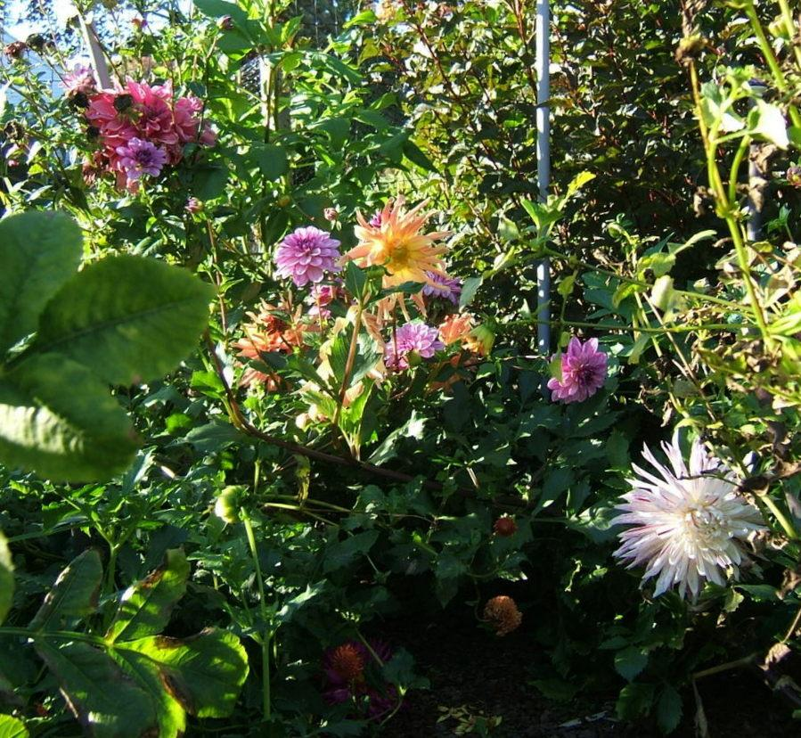 Photo of Dinner Plate Dahlia (Dahlia 'Bristol Stripe') uploaded by pirl