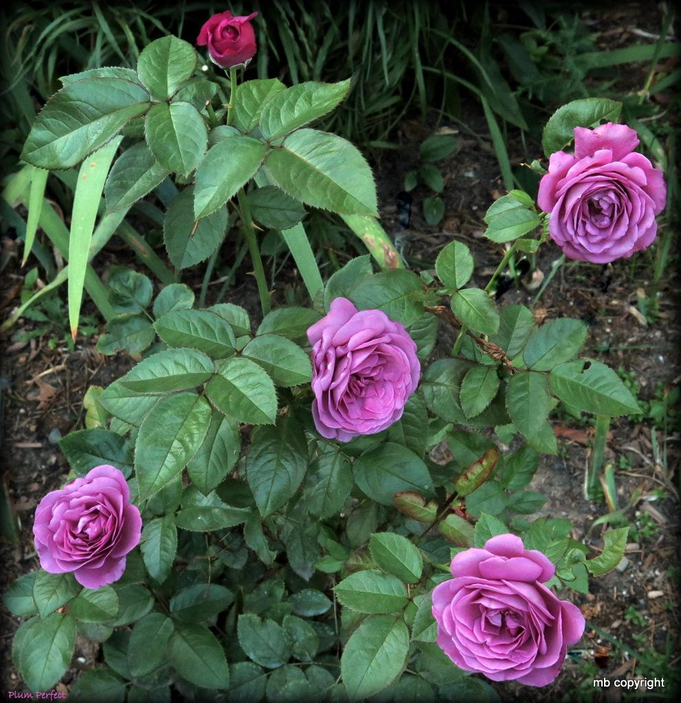 Photo of Rose (Rosa 'Plum Perfect') uploaded by MargieNY