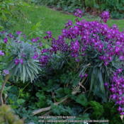 "Location: New ZealandDate: 2015-10-07Matthiola incana 'Perennial Form' ""Tree Stock( kn"